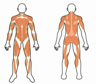 どんな姿勢や動作であっても、決して単独の筋肉だけで動くという事はないのです