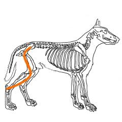 四足歩行の場合は骨盤と足がまっすぐに繋がっておらず、大きく傾いています。
